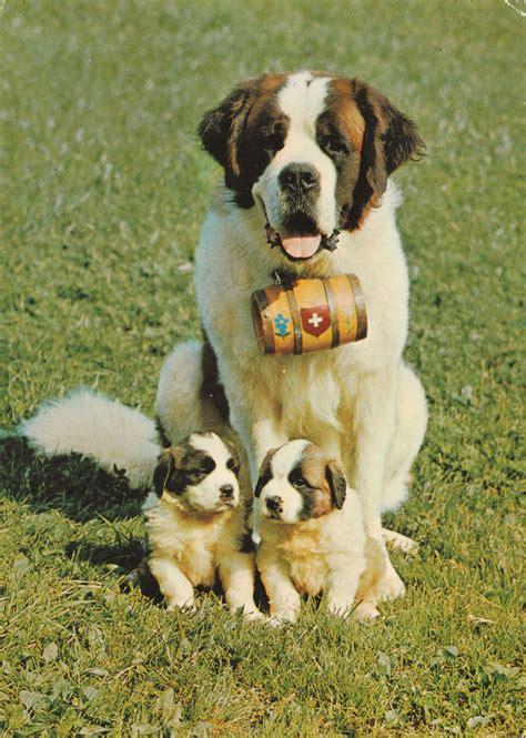 puppy bernard st bernard postcard and two pups bernard bernard