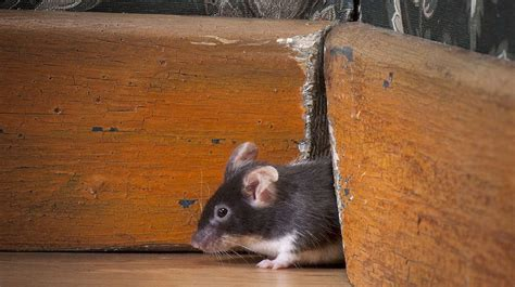 mice in the house mice prevention learn how a mouse enters a house