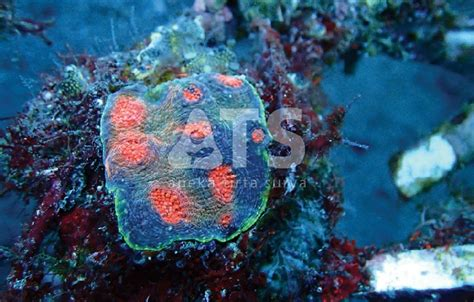 nca design indonesia nano large polyps stony corals