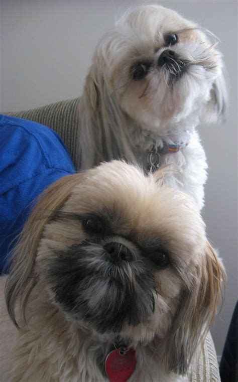 list of shih haircut 145 best images about shih tzu on pinterest best dog