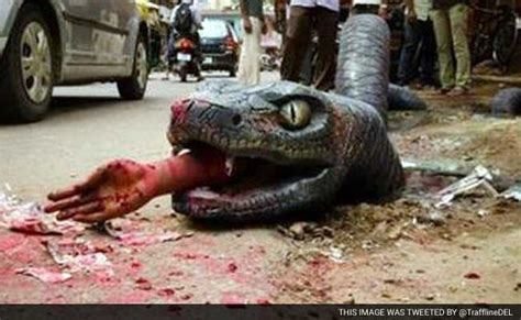 film ular nakonda after crocodile bengaluru finds an anaconda on its streets