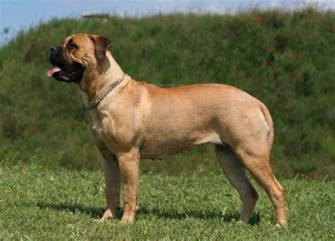 dogs hd wallpaper 2015 types of bullmastiff dogs 39 hd wallpaper