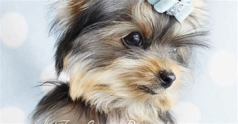 yorkie 5 months 5 month teacup yorkie by teacupspuppies teacup yorkies yorkie puppies