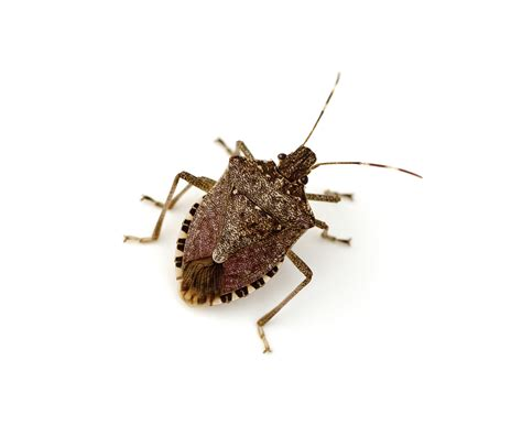 Flying Bed Bugs by Brown Marmorated Stink Bugs Plunkett S Pest