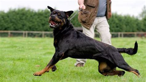 are rottweilers dangerous 14 most dangerous breeds of dogs funbuzztime
