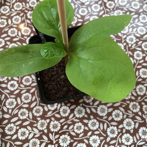 growing malabar spinach  seeds gardening ideas
