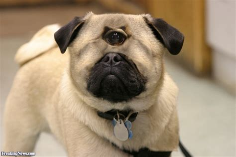 with pugs one eye pug pictures freaking news