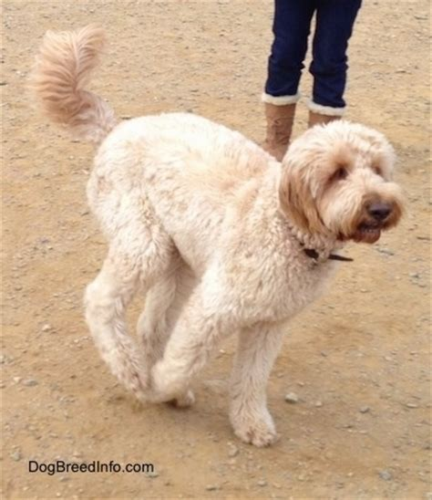 golden doodle puppy info goldendoodle breed information and pictures