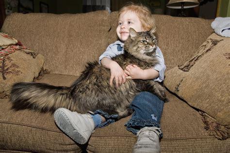 top 16 kid friendly cat breeds cattime