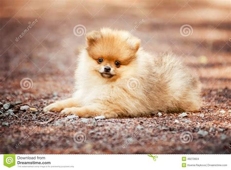 small pomeranian small pomeranian puppy lying stock photo image 49270604