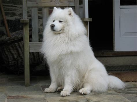 image gallery samoyed fur