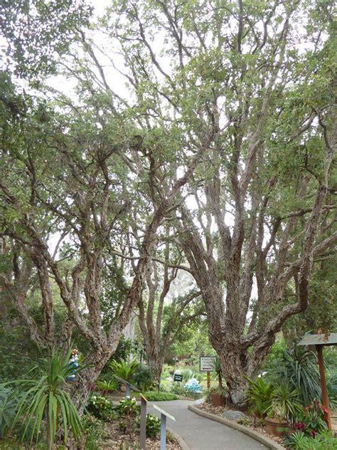 Botanic Garden Encinitas Plantfiles Pictures Cork Oak Quercus Suber By Kell