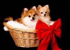 teapot pomeranian puppies stock photos images pictures 240 images