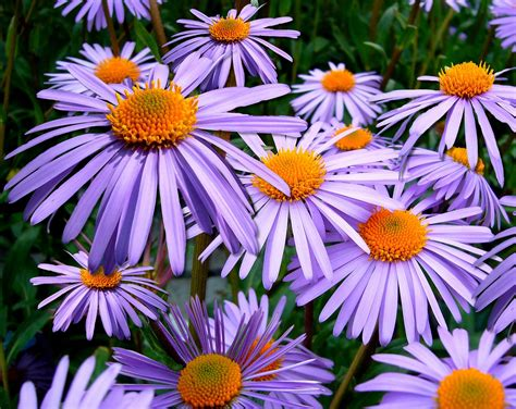 aster fiori tutto quello c 232 da sapere sugli aster i fiori di