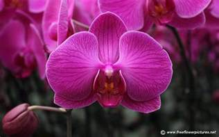 moth orchid pictures phalaenopsis pictures