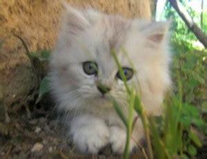 animale da appartamento animali domestici il persiano un gatto da appartamento