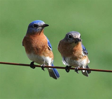 best 28 eastern bluebird cycle signs of new life a