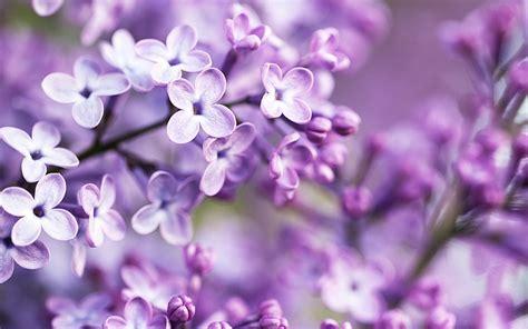 fiori wallpaper flowers purple blurred lilac purple flowers wallpapers