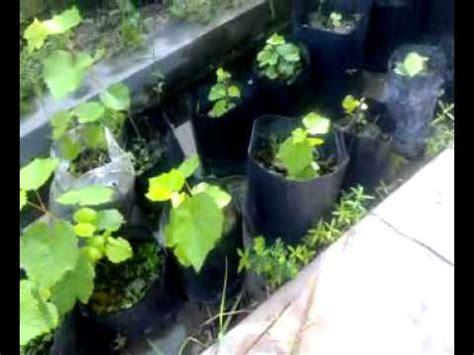 Benih Pokok Anggur benih pokok anggur yg boleh berbuah di malaysia