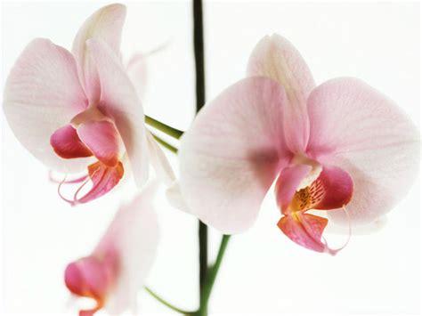 come far fiorire orchidea orchidee come coltivarle curarle e farle rifiorire