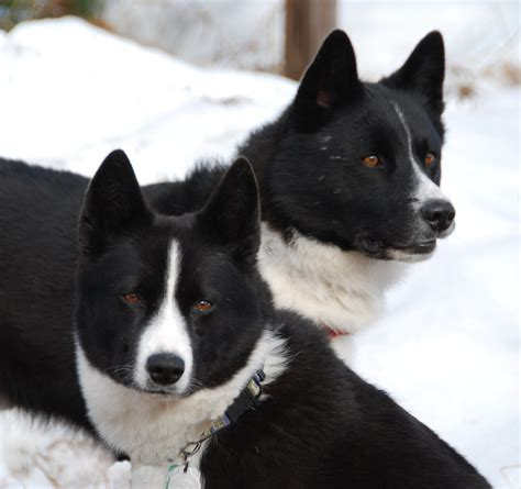 karelian puppies two karelian dogs photo and wallpaper beautiful two karelian dogs pictures