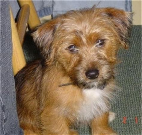 my yorkie follows me everywhere yorkie breed information and pictures