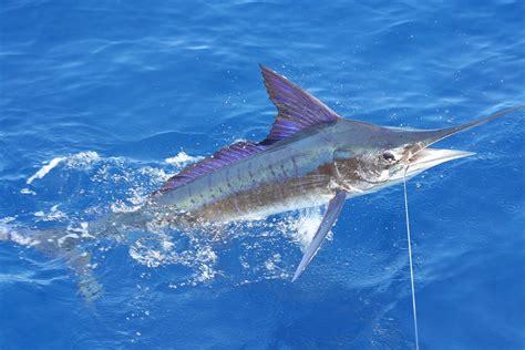 best image striped marlin wikipedia