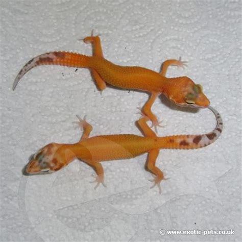 leopard gecko heat l adorable leopard geckos page 9