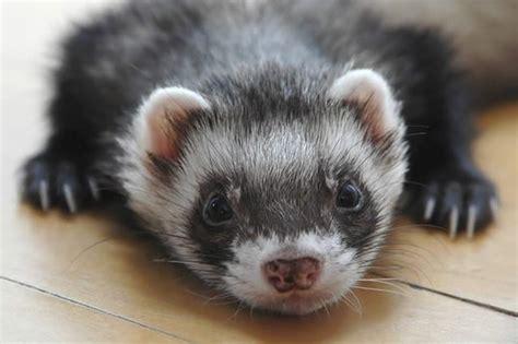 states dont  ferrets cuteness