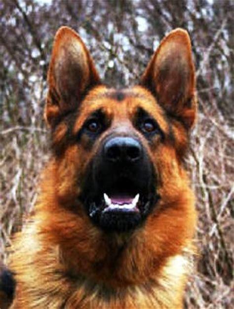 joe biden puppy joe biden s ch jolindy s german shepherds breeder of joe biden s pup ch
