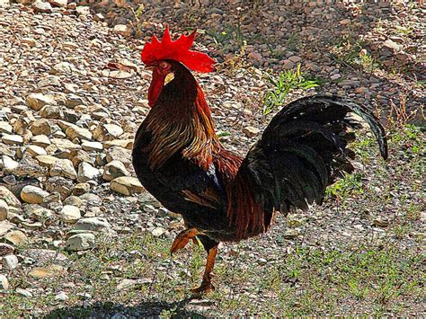 rooster wallpaper country rooster wallpapers wallpapersafari