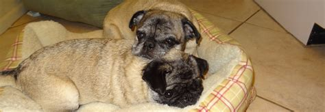 pug adoption toronto pug puppy rescue or foster home enquiry form breeds picture