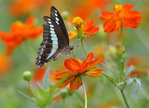 imagenes de mariposas para wasap flower picture cosmos flower