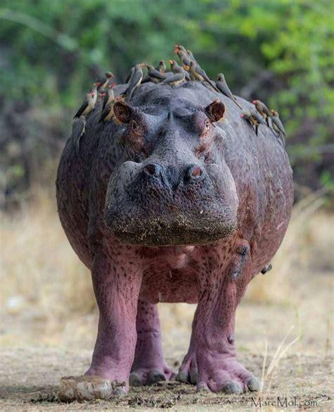 siege hippopotamus 422 best hippo s images on hippopotamus