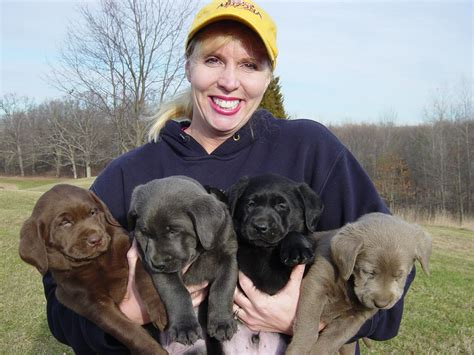 brown lab puppies for sale akc registered silver charcoal gray labrador retriever breeder puppies for sale