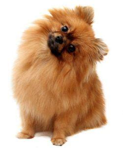 where do pomeranians come from pomeranian smell bad here s 3 reasons why