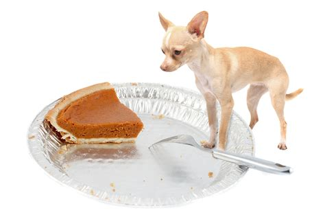 can dogs eat pumpkin can dogs eat turkey thanksgiving faqs fetch pet care