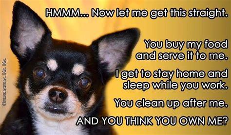 ironic chihuahua quotes  wwwfacebookcomchihuahuahaha awe chihuahua pinterest