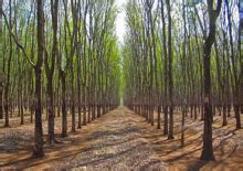 rubber st plantation rubber industry to create sustainability standards
