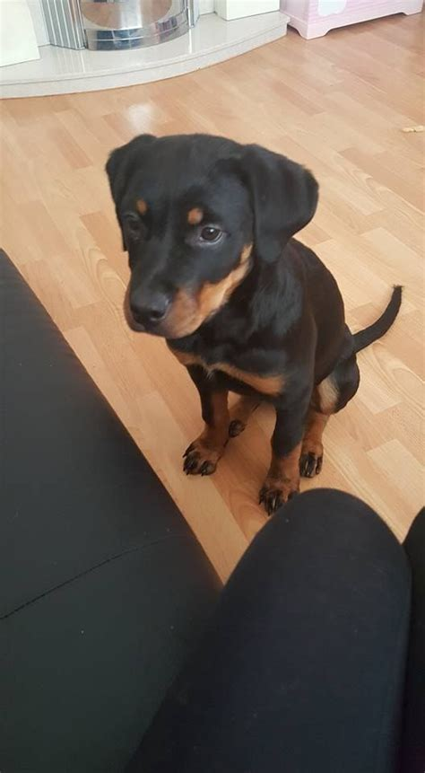 5 month rottweiler puppy rottweiler rottweiler pet insurance breed info breeds picture