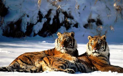 tiger couple snowy land wallpaper hd wallpapers rocks