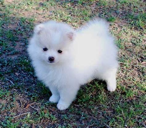 pomeranian puppies pomeranian puppies top directory