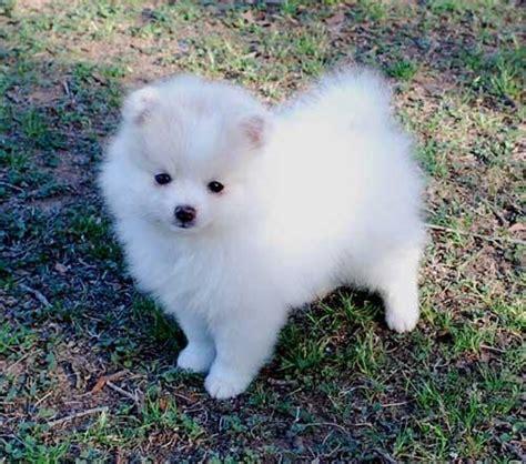 top pomeranian breeders pomeranian puppies photograph pomeranian puppies top do