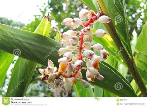 imagenes de jengibre en ingles flores florecientes del blanco de la planta del jengibre