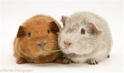 Young Rex Guinea pigs, 6 weeks old photo WP15312