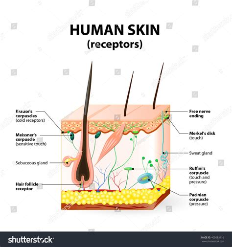 vertical section of the skin cross section human skin pressure vibration stock vector