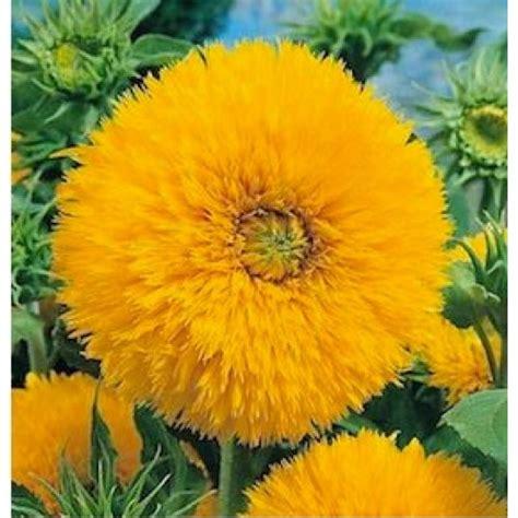Bibit Bunga Matahari Kecil sunflower teddy 10 biji bijibunga