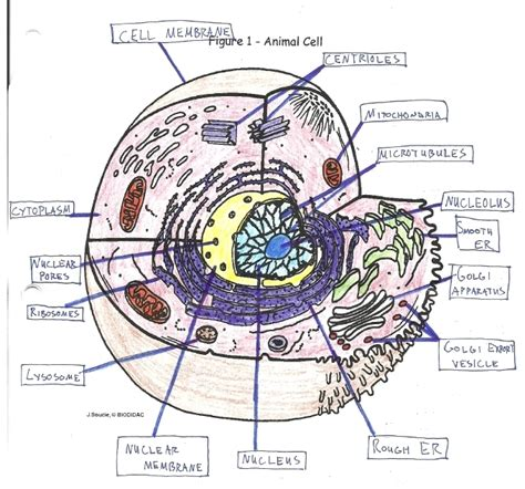 3d Animal Sketch 3 Tx animal cell diagram labeled pictures to pin on