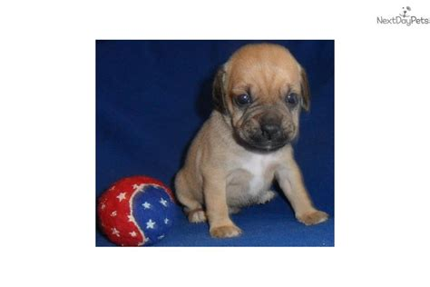 puggle puppies for sale in ohio puggle puppy for sale near akron canton ohio 4b8ab0f8 ea41