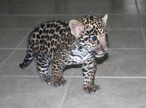 Baby Jaguar Baby Jaguar Animal Cuteness